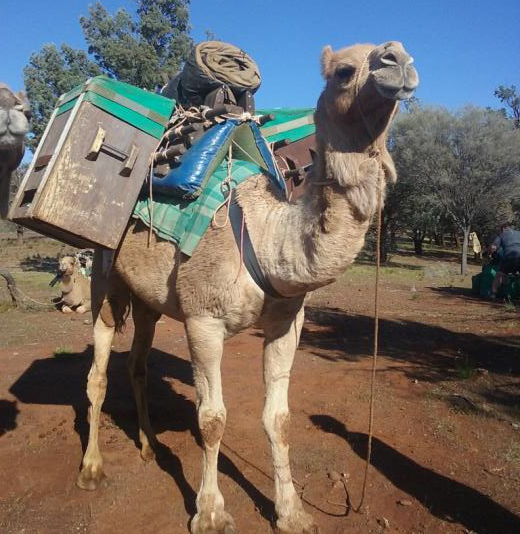 Bubbles the camel loaded with a traditional pack saddle and camel fridges